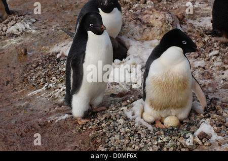 An Adelie penguin couple with their nest of eggs January 7, 2012 in Ross Island, Antarctica. Thousands of Adelie - Stock Photo