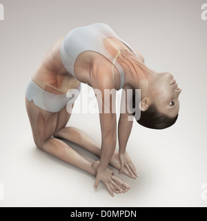 Musculature layered over female body in camel pose showing activity certain muscle groups in this particular yoga - Stock Photo