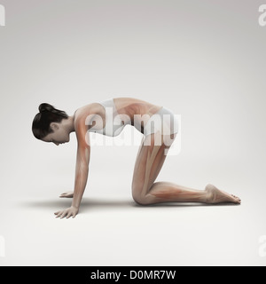 Musculature layered over female body in cat pose showing activity certain muscle groups in this particular yoga - Stock Photo