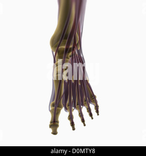 Anatomical model showing the muscles of the left foot. - Stock Photo
