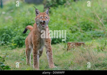Eurasischer Luchs ,Lynx lynx, eurasian lynx - Stock Photo