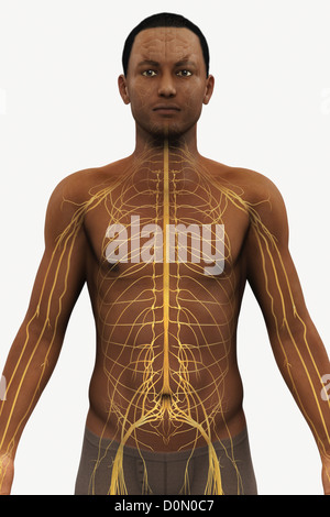 Male figure of African ethnicity with the nerves of the upper body visible. - Stock Photo