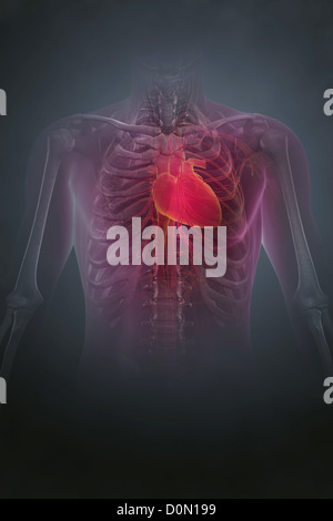 Anatomical model showing the human heart located in the rib cage. - Stock Photo