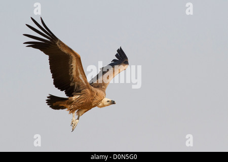 Griffon Vulture (Gyps fulvus) near Bikaner, Rajasthan, India. - Stock Photo