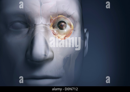 A close up view of an anatomical model showing the anatomy of the left eye in relation to the brain and skull. - Stock Photo