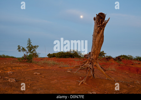 Dry tree and moonrise in Sarigua national park (desert), Herrera province, Republic of Panama. - Stock Photo