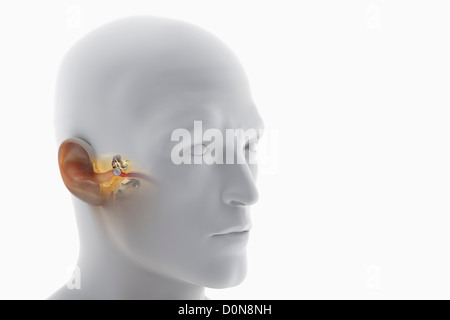 A Sectional View Of The Human Head Revealing The Anatomy Of The Ear