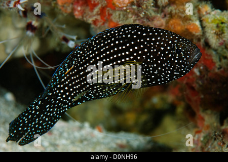 A comet (Calloplesiops altivelis), a variety of longfin, in the Maldives. - Stock Photo