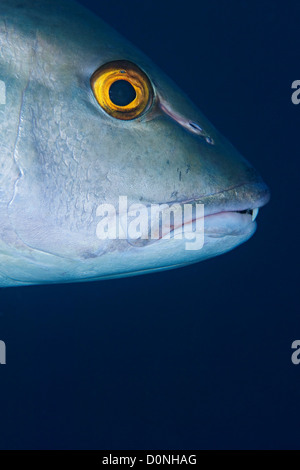 The mouth and eye of a two-spot red snapper (Lutjanus bohar), in the Maldives. - Stock Photo