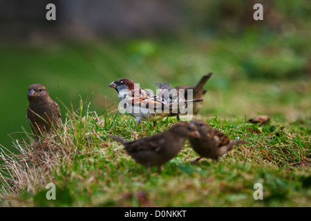 House Sparrows (Passer domesticus ) - Stock Photo