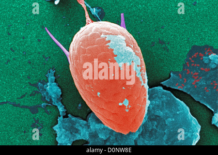 Under moderate magnification 1000X this digitally-colorized scanning electron micrograph (SEM) untreated water specimen - Stock Photo