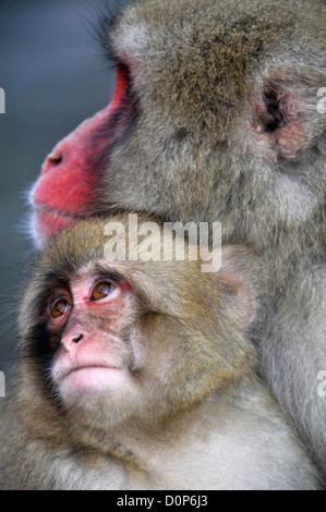 Japanese macaque and pup, Macaca fuscata, Jigokudani Monkey Park, Joshinetsu Kogen National Park Yamanouchi, Nagano, - Stock Photo