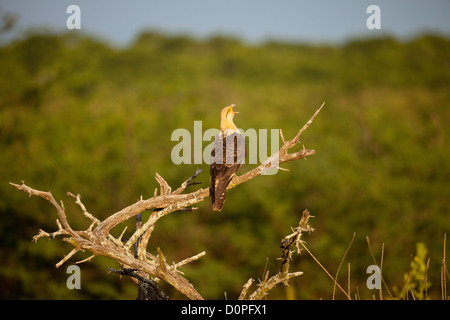 Yellow-headed Caracara, sci.name; Milvago chimachima, in Sarigua national park, Herrera province, Republic of Panama. - Stock Photo