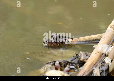 beautiful Meder's Mangrove crabs (Sesarma mederi) climbing on bamboo to escape from water - Stock Photo