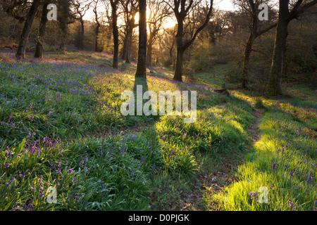 Bluebell Woods, Dorset, England, UK - Stock Photo