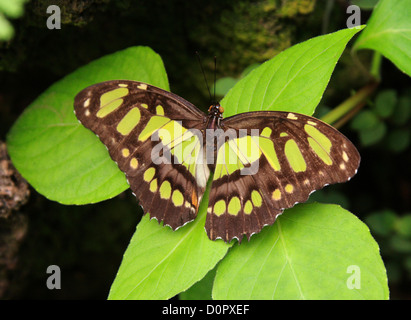 Malachite Butterfly or Bamboo Page, Siproeta stelenes, Nymphalidae. Tropical Central and South America. - Stock Photo