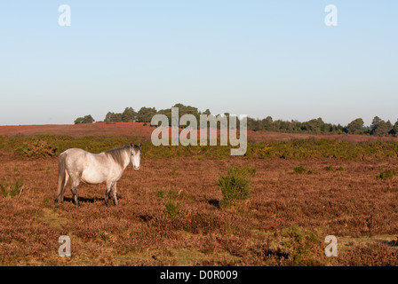 A grey pony roaming free on the heath land of the new forest national park. - Stock Photo