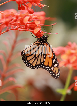 Monarch Butterfly, Danaus plexippus, Papilionoidea, Nymphalidae, Lepidoptera. Aka the Milkweed or Wanderer Butterfly. - Stock Photo