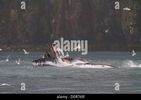 Humpback whales lunge feeding, Kenai Fjords National Park, near Seward, Alaska. - Stock Photo