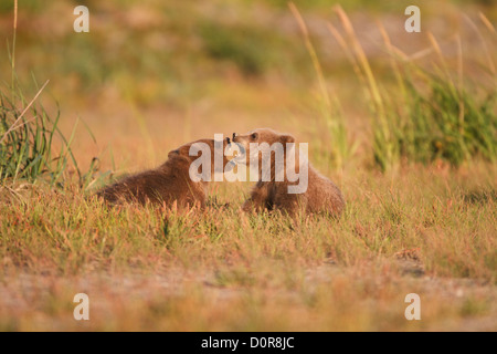 Triplet Brown or Grizzly Bear spring cubs, Lake Clark National Park, Alaska.