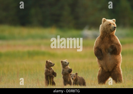 Sow with Triplet Brown or Grizzly Bear spring cubs, Lake Clark National Park, Alaska.