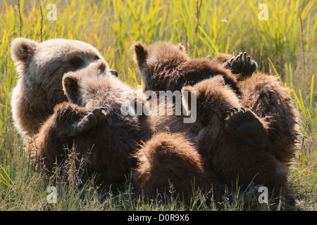 Sow with triplet Brown or Grizzly Bear spring cubs, Lake Clark National Park, Alaska. - Stock Photo