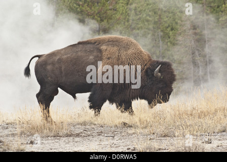 Bison in  Geothermal Steam - Stock Photo