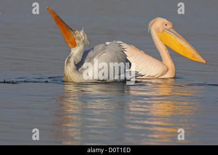 Dalmatian and Great White Pelican (Pelecanus onocrotalus,Eastern White Pelican, Rosy Pelican,White Pelican) in breeding - Stock Photo