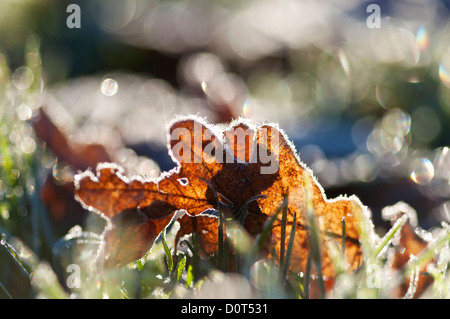 Frosty fallen brown leaf on cold frosted grass, back-lit, with the morning sunlight coming from behind - Stock Photo