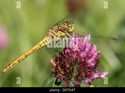 Macro of a female  Vagrant Darter-dragonfly  posing on a a flower - Stock Photo