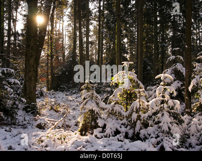 Bannwil, spruces, canton Bern, snow, Switzerland, sun, firs, wood, forest, winter, winter wood - Stock Photo