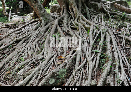 Tree, roots, Parque El Picacho, City Park, Tegucigalpa, capital, City, Central America, Honduras, nature - Stock Photo
