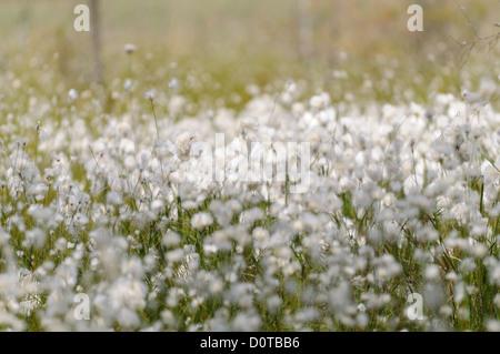 Moorlandschaft mit Wollgras, Eriophorum