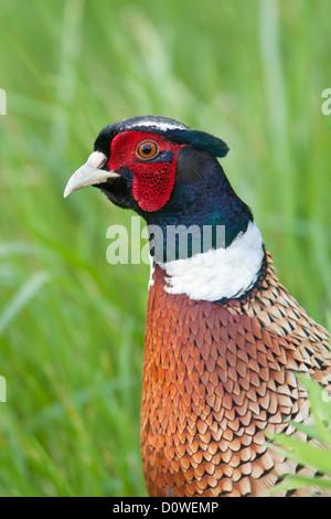 Ring-necked Pheasant - Stock Photo