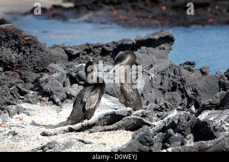 Flightless Cormorant on the Galapagos Islands, Ecuador - Stock Photo