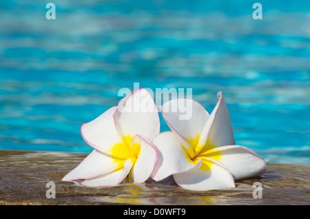 Tropical flower Plumeria on swimming pool - Stock Photo