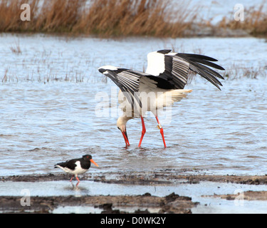 White Stork (Ciconia ciconia)  in a marsh  foraging for food as an common oystercatcher walks by - Stock Photo