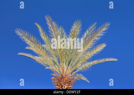 Top of a date palm tree,Phoenix dactylifera, Egypt - Stock Photo