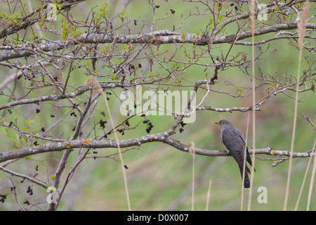 Common Cuckoo (Cuculus canorus), adult male, spring. Europe. - Stock Photo