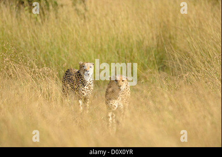 Two brother cheetahs moving through the grasses in Kenya - Stock Photo