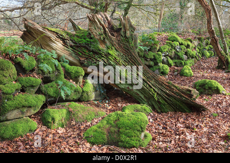 Rotten fallen tree trunk by an old stone wall covered in moss in woodland in the Dwyfor Valley, Gwynedd, North Wales, - Stock Photo