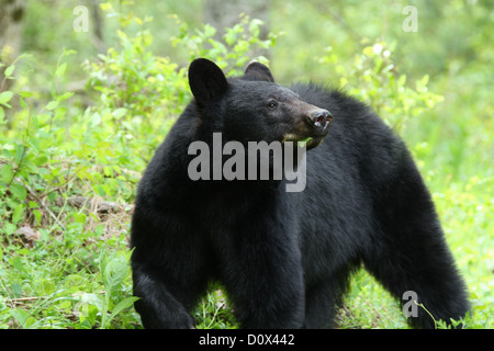 Black Bear in Cades Cove, Great Smoky Mountains National Park. - Stock Photo