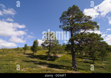 Pine trees on a high plateau in Jotunheimen National Park, Norway - Stock Photo