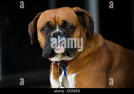 Portrait of a Bull mastiff dog. - Stock Photo