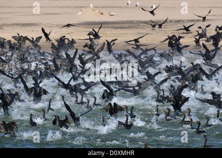 Africa, Namibia, Walvis Bay, Cormorants, Colony, birds, swarm, - Stock Photo