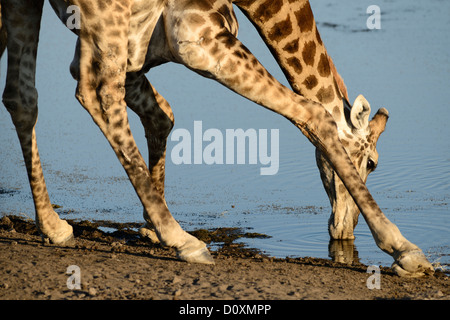 Africa, Etosha, National Park, Namibia, african, animal, bending over, drinking, giraffe, animals, horizontal, plains, - Stock Photo