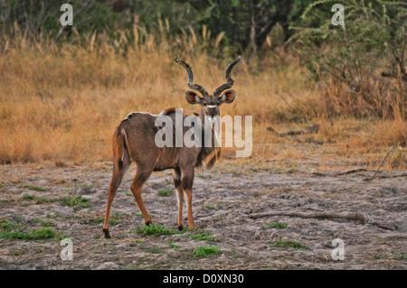 Africa, Bwa Bwata, National Park, Caprivi, Namibia, deer, animal, horizontal, horns, looking, twisted horns, watching - Stock Photo
