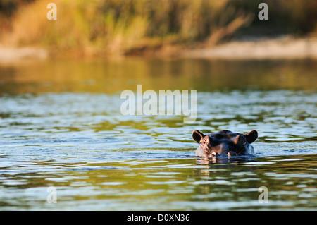 Africa, Bwa Bwata, National Park, Caprivi, Namibia, animal, cooling, floating, hiding, hippo, hippopotamus, animal, - Stock Photo