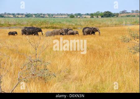 Africa, Bwa Bwata, National Park, Caprivi, Grazing, Namibia, african, elephant, animal, grasslands, graze, herding, - Stock Photo