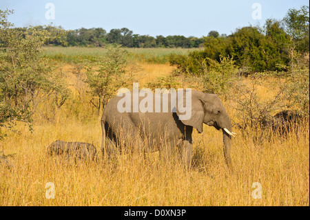 Africa, Bwa Bwata, National Park, Caprivi, Namibia, adults, african, elephants, baby, grasslands, horizontal, mother - Stock Photo